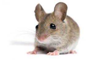 Most Common Types Of Rodents