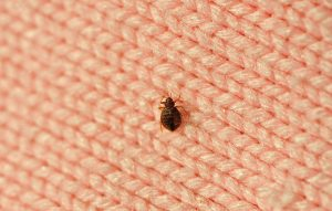 Fun Facts About Bedbugs